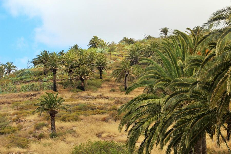 Palmerales.Valle Gran Rey