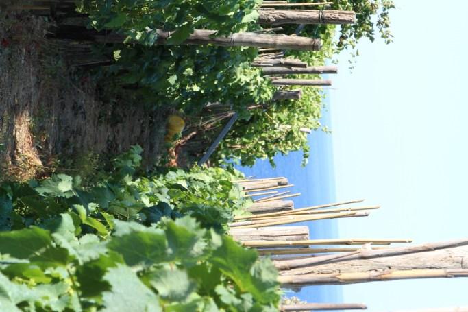 -Entre viñedos, sendero Monterosso- Vernazza-