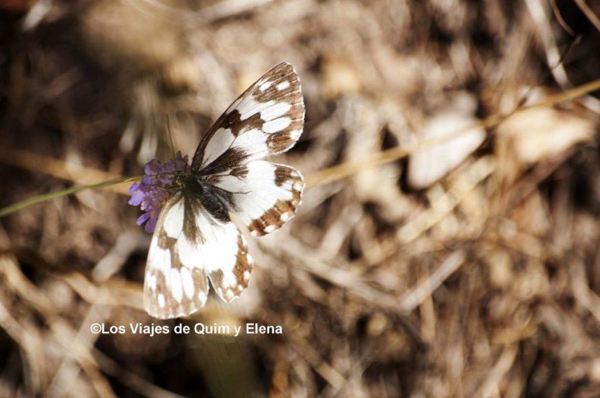 Mariposa en el Montseny