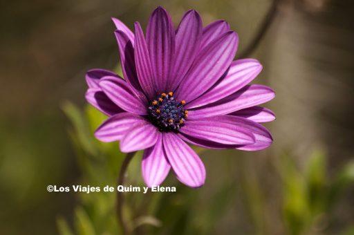 Flor en Pinya de Rosa