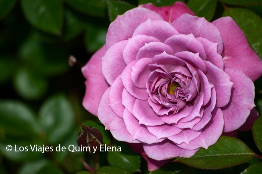 Ros en los Jardines de Cervantes