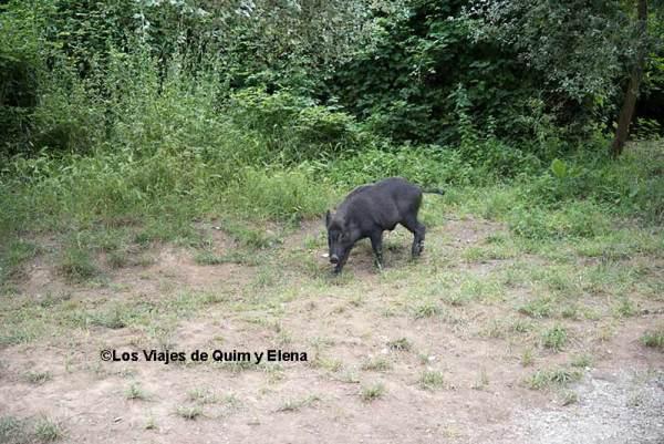 Un jabalí buscando comida en el pantano de Vallvidrera