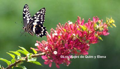 Mariposa volando en Cabo Verde