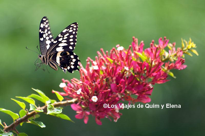 Mariposa volando en Cabo Verde, el vuelo de las mariposas