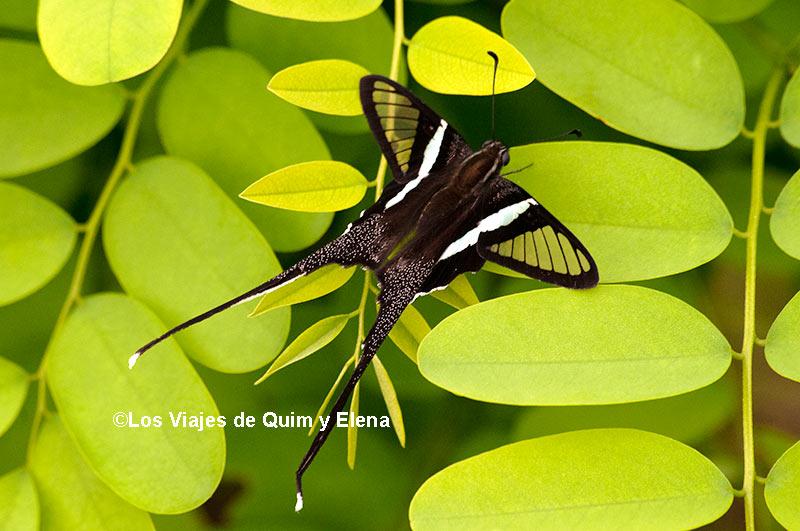 Mariposa cola de dragón en Vietnam, el vuelo de las mariposas