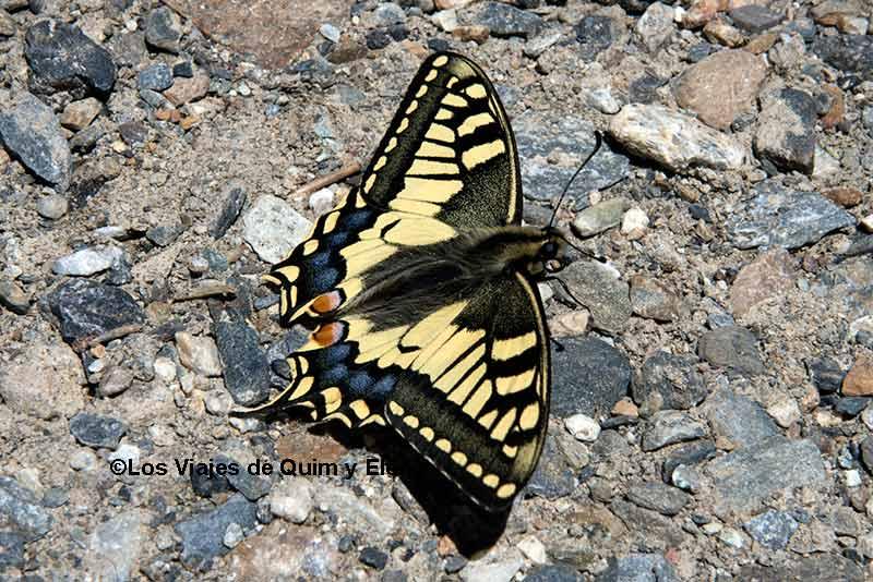 Mariposa Macaón en Andorra