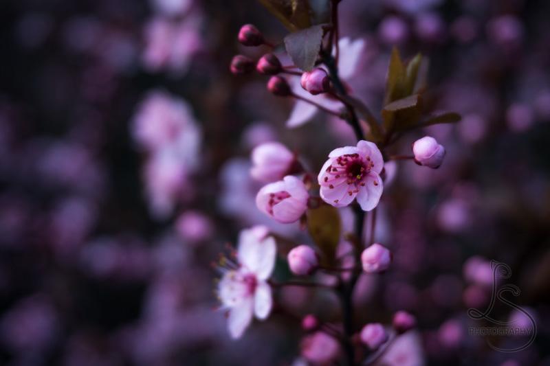 Blooming Sakura