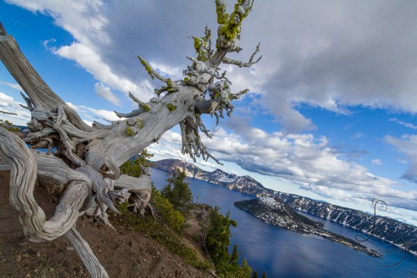 A gnarled tree stands watch over the stunningly blue Crater Lake.