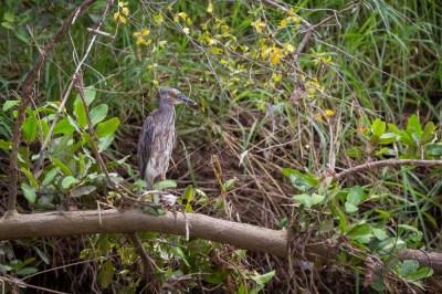 Juvenile night heron
