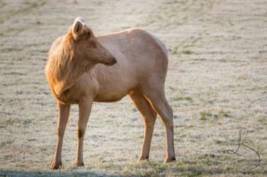 Blonde elk are actually quite rare