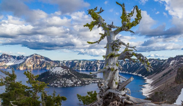 Gnarled tree on the rim at Crater Lake National Park | LotsaSmiles Photography