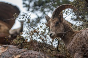 Two big-horned sheep evaluate hikers on the trail from their lofty rocky perches in Zion National Park