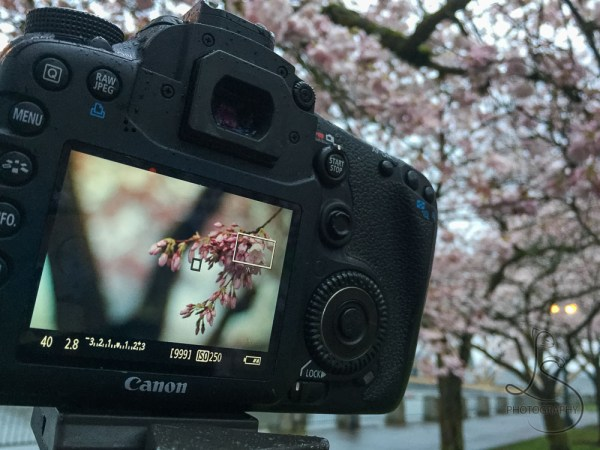 Back of a camera showing the image being shot of spring cherry blossoms | LotsaSmiles Photography