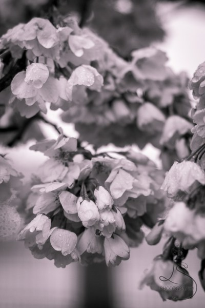 Monochrome close-up of drenched sakura blossoms | LotsaSmiles Photography