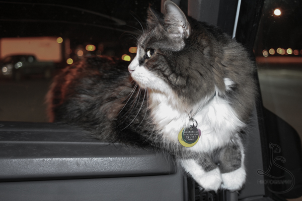 Zoe lounging on the moving van's dashboard | LotsaSmiles Photography