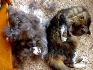 Zoe grooming herself next to a massive pile of her own shorn fur | LotsaSmiles Photography
