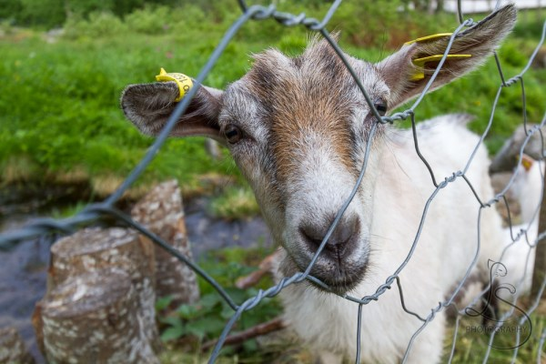 A goat peering through a chainlink fence | LotsaSmiles Photography