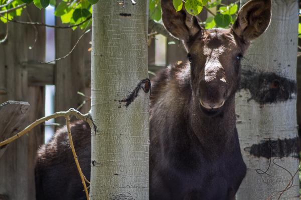 Moose calf peeking from behind a tree in Grand Lake, Colorado | LotsaSmiles Photography