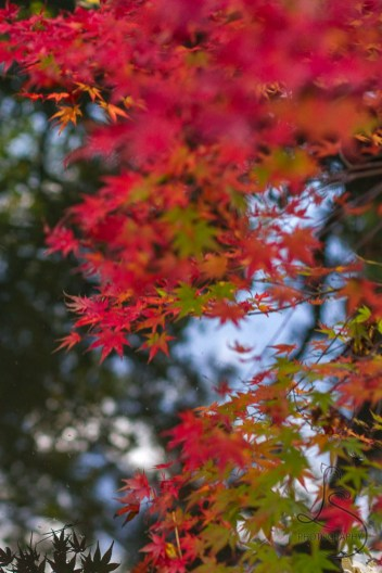 Branches of a Japanese maple hang low over a pond at a temple in Kyoto.