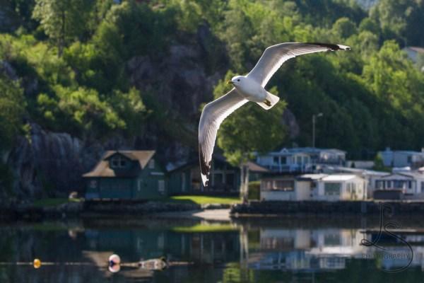 A seagull making a dive-bomb pass at Kyrping, Norway | LotsaSmiles Photography