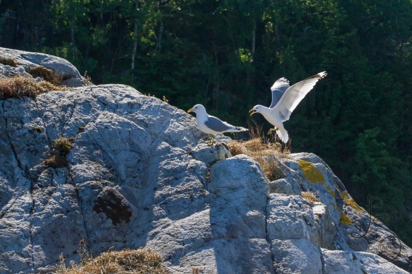 A seagull attacking another on a rocky island in Kyrping, Norway | LotsaSmiles Photography
