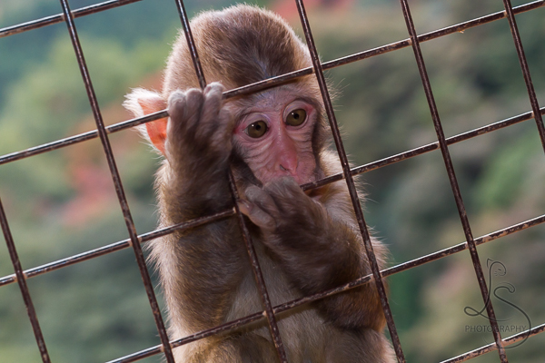 Young monkey gripping the wires over a window at the Arashiyama Monkey Park in Kyoto, Japan | LotsaSmiles Photography