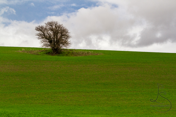 A lone tree standing in the middle of a verdant green field in Washington's Palouse | LotsaSmiles Photography