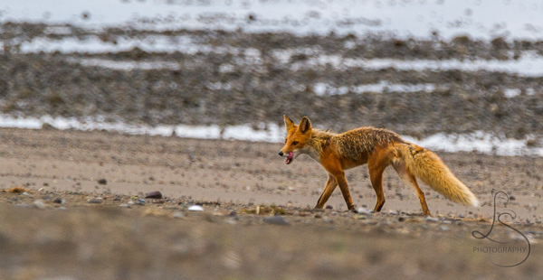 A fox prowling the rocky beach in Alaska | LotsaSmiles Photography