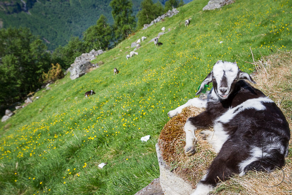 A lounging goat grinning for the camera in Geiranger | LotsaSmiles Photography