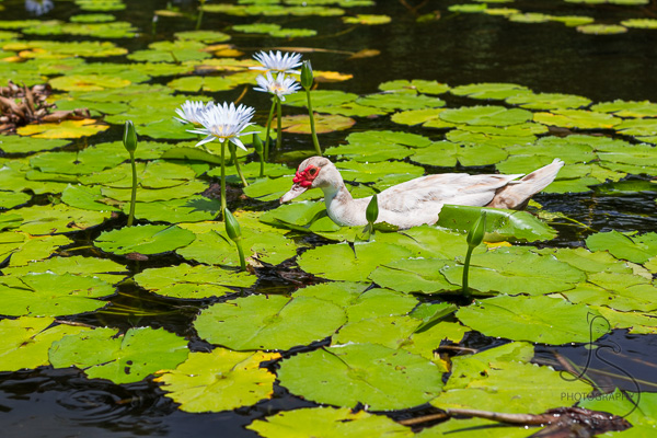 A muscovy duck in a lily pond in Hawaii | LotsaSmiles Photography