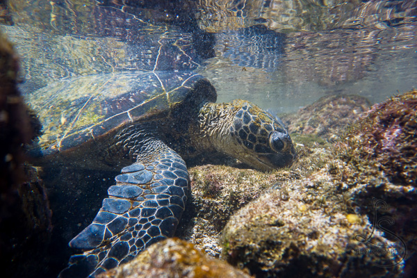 Sea turtle underwater in Hawaii | LotsaSmiles Photography