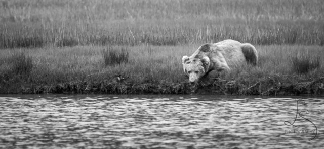 A bear drinking from a river in Alaska, in monochrome | LotsaSmiles Photography
