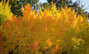 Tree branches, all awash in golden yellow | LotsaSmiles Photography