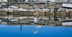 A seagull swoops low over perfectly still water in Norway.