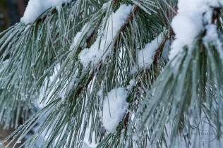 Snowy pine boughs in Yosemite National Park | LotsaSmiles Photography