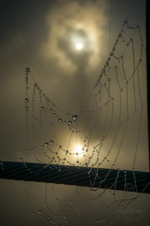 Dewy spiderwebs in the fog