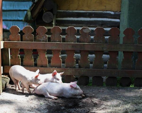 American Farming - 3 pigs