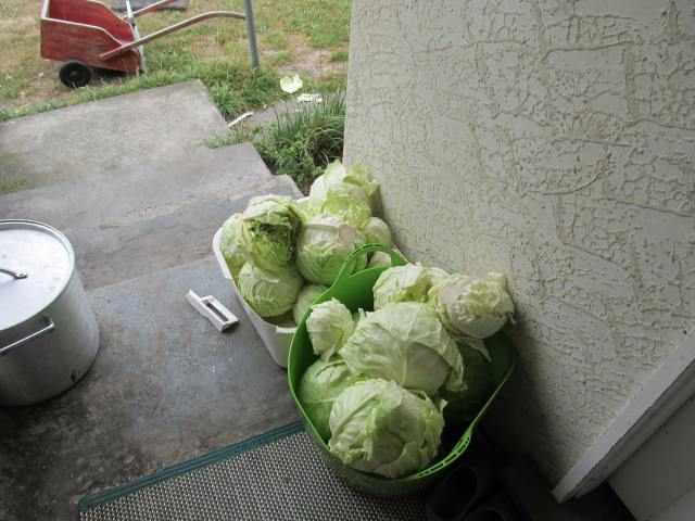 Saturday I had these 26 heads of cabbage (60 pounds) to do something with.  Forty pounds of sourkraut and twenty pounds in the freezer later, we were finished.