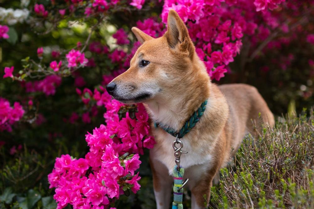 Shiba Inu Blumen
