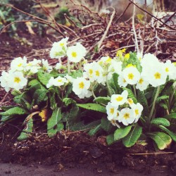 A group of Primroses
