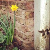 Happy Daffodil