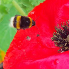 https://lottielandgirl.com/2014/08/07/wildflowers-bees-and-poppies/
