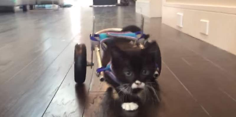 wheelchair for cats hammock chair swing cassidy s first steps in his tiny lotto the cat