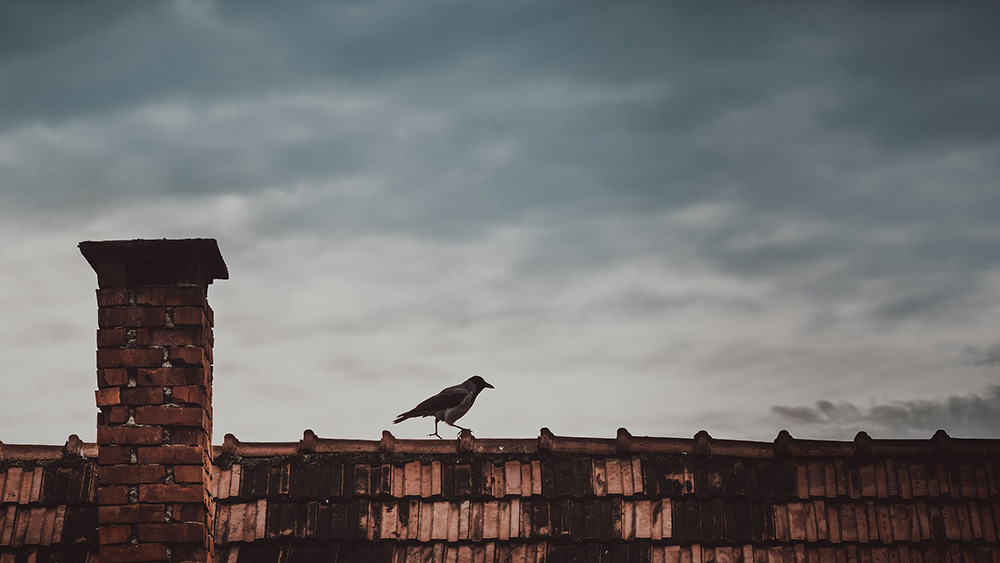 bird walking on roof with brick chimney
