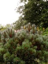 Le petit Pinus silvestris