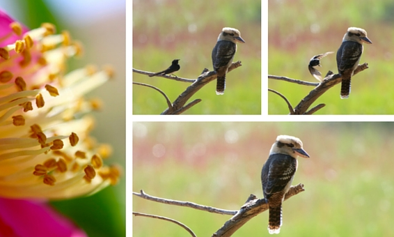 Midweek Moment #40—The Kookaburra and the Wagtail: A Story in Pictures, and the Centre of a Flower