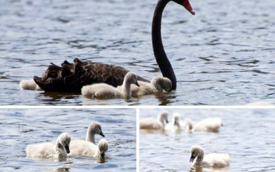 Cute Photos of Cygnets to Make Your Day