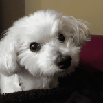 photograph of Havanese used for sketch