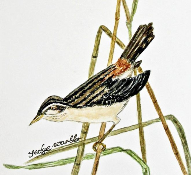 watercolour of sedge warbler