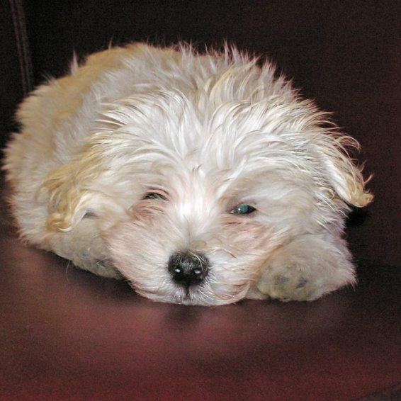 Chico, Havanese puppy. Louise's ARTiculations